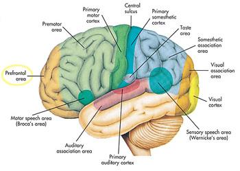 Anatomia y fisiologia de la corteza cerebral pdf